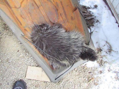 frozen porcupine