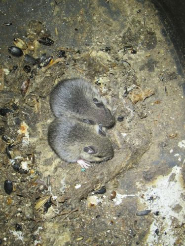 Two mice in sump basket