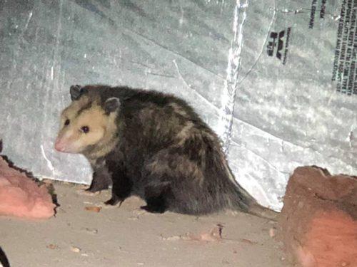 Opossum in crawlspace