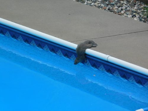 Squirrel drinking out of pool
